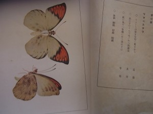 チョウの写真です